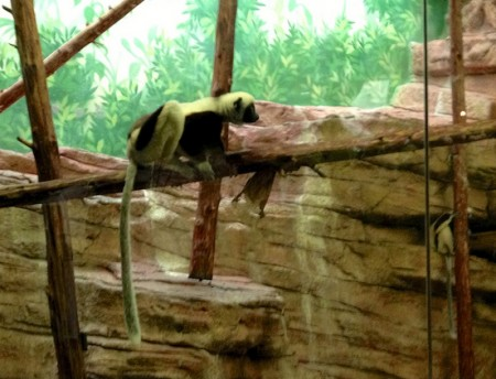 Sifaka at the St. Louis Zoo